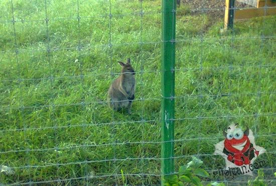 zoo oradea - cangur