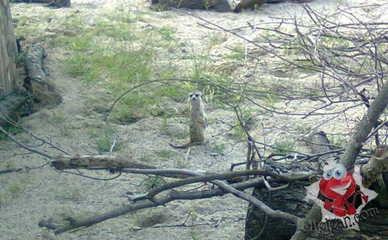 zoo oradea - suricat