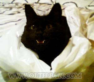 Blackie pisica
